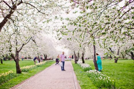 Когда в 2020 году зацветут яблони в Коломенском