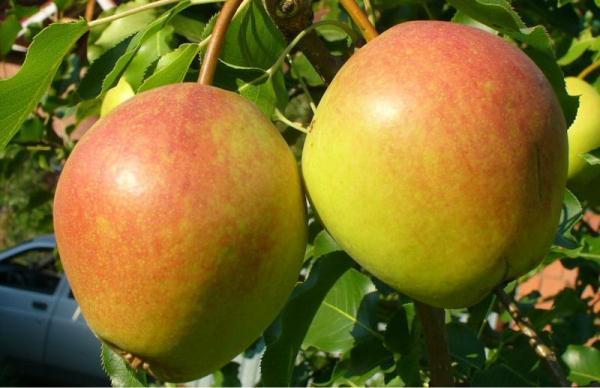 Груша Краснобокая характеристика секреты успешного выращивания