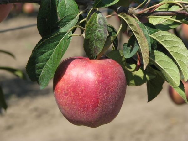 информация погибшей яблоня глостер описание фото отзывы переносную