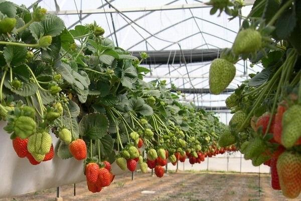 Как выращивать клубнику по голландской технологии