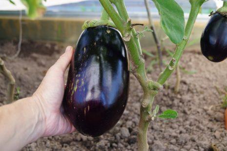 Баклажан Марципан F1 описание и характеристика сорта урожайность с фото