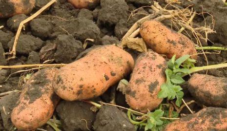 Картошка сорт белла роса характеристика