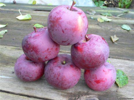 Описание сорта яблок Спартан достоинства и недостатки когда собирать