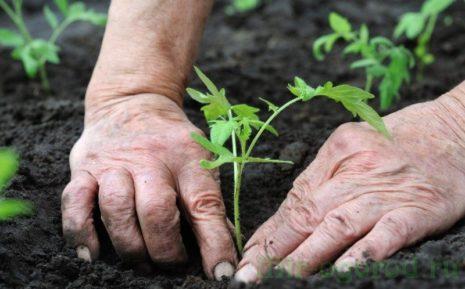 Томат Алые свечи: характеристика и описание сорта урожайность, отзывы фото – Дачные дела