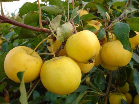 Уралка яблоки посадка и уход в открытом грунте