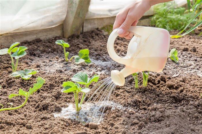 чем лучше удобрять клубнику весной