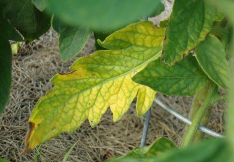 желтые листья томата
