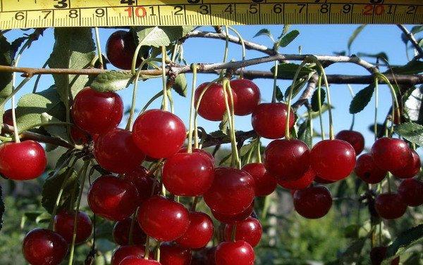 Вишня сорт Щедрая описание и характеристики выращивание и уход с фото