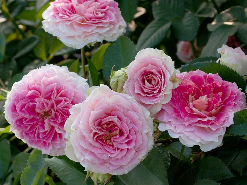 ежедневно снимать розы корнесобственные цветущие фото описание простая глазурь
