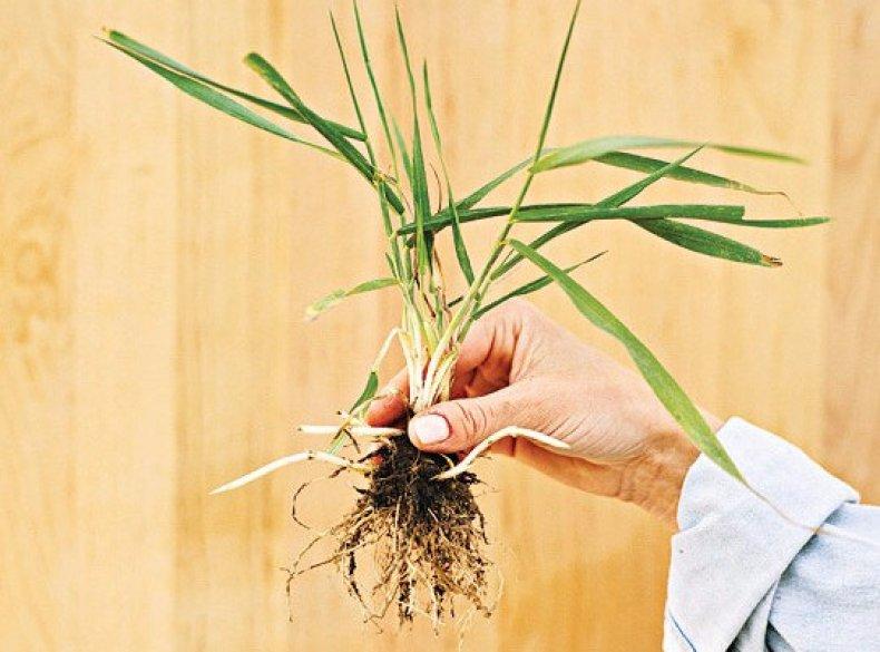 Как вывести пырей с огорода навсегда народными средствами