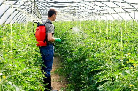 Мужчина обрабатывает помидоры в теплице