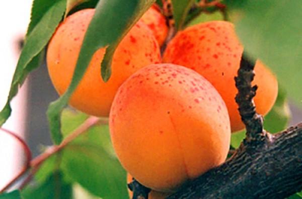 abrikos-sorta-dlya-sredney-polosy-1.jpg