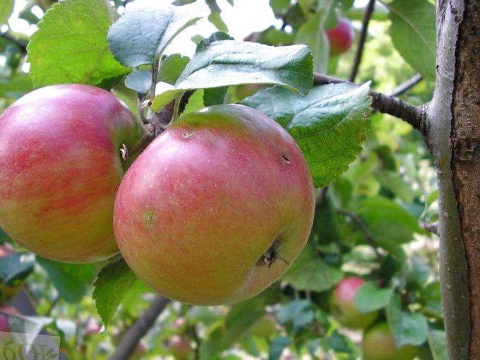 Приземленное сорт яблони