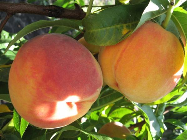 Персик сорт редхейвен