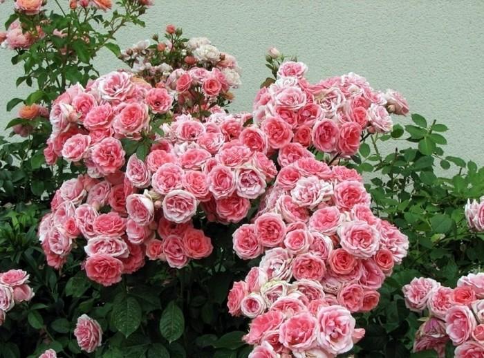 Роза секси рекси флорибунда