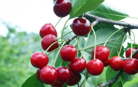 Вишня Волочаевка описание сорта и характеристики дерева посадка и уход