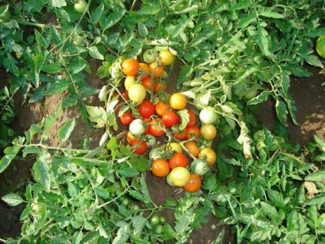 Красные и зеленые помидоры на кустике