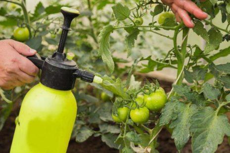 обработка томатов от фитофторы
