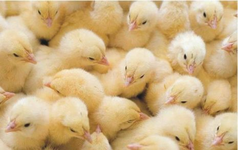 цыплята несушек