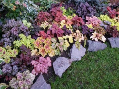 Гейхеры - украшение сада