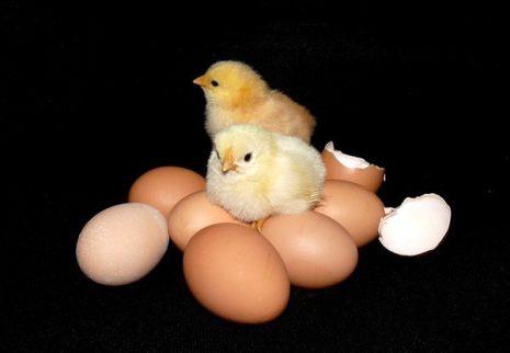 Яйца для инкубатора