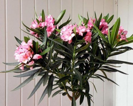 Олеандр цветет дома