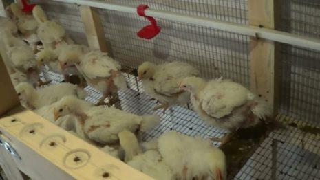 цыплята в клетке