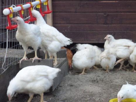 цыплята бройлеров пьют воду