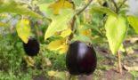 Почему желтеют листья у баклажан