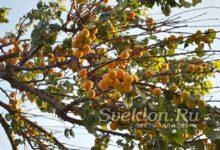 Абрикос, плоды на дереве