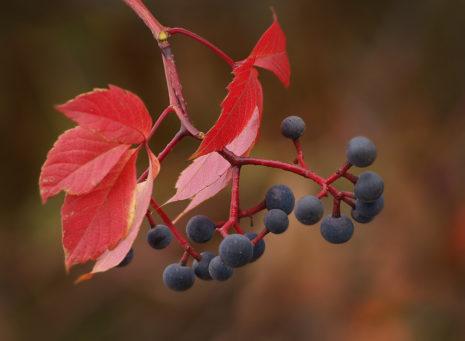 Ядовитые плоды винограда