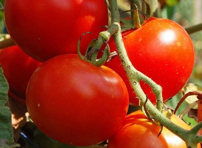 Чем подкормить томаты