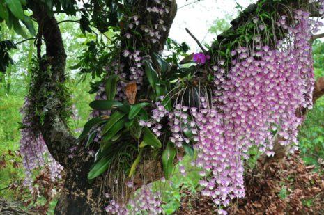 Фаленопсис в дикой природе