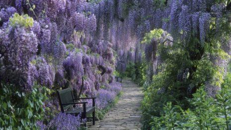 Сад из глицинии