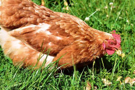 Курица ест