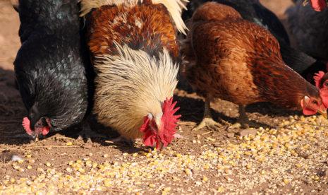 Пищевое кормление кур