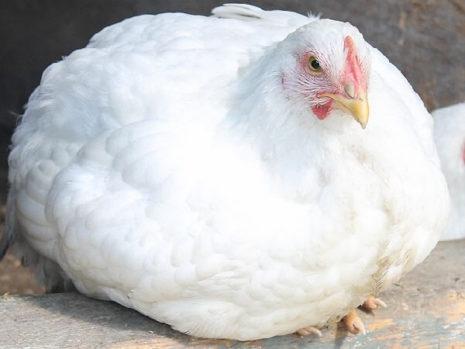 Порода кур
