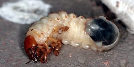Личинка медведки