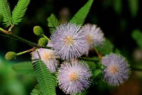 цветок Мимоза стыдливая