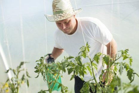 Мужчина опрыскивает томаты