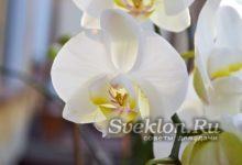 Орхидея размножение дома