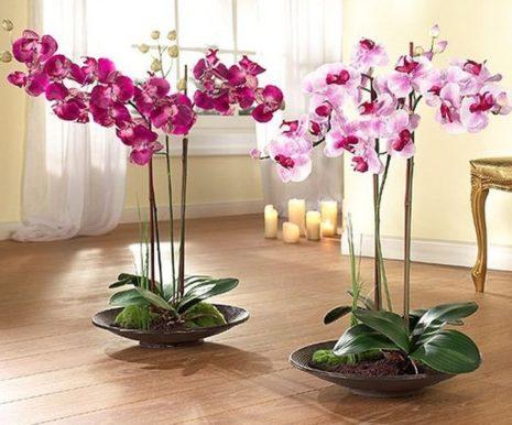 Красавица орхидея Фаленопсис