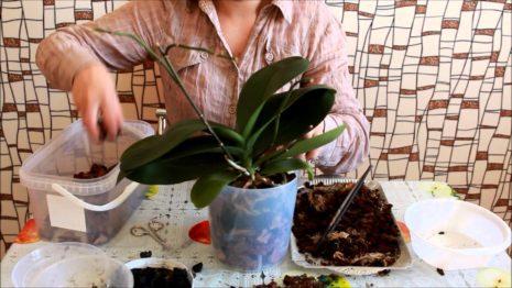 Пересадка орхидея дома