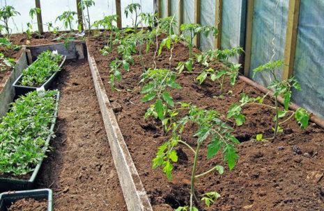 Растут помидоры