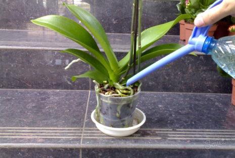 Первый полив орхидеи