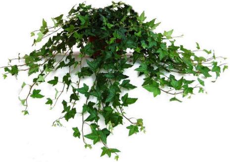 Плющ вечнозеленый комнатный
