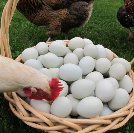 Яичная порода