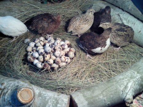 Породы перепелов для получения яиц