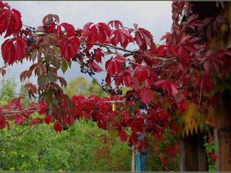 Ветви дикого винограда