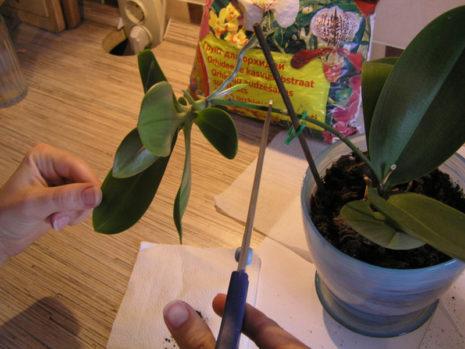 Размножение орхидеи детками